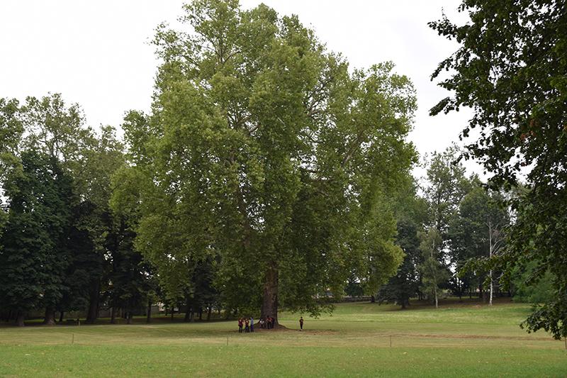 L'albero di Cavour individuato da SuPerAlberi