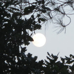 luna albero
